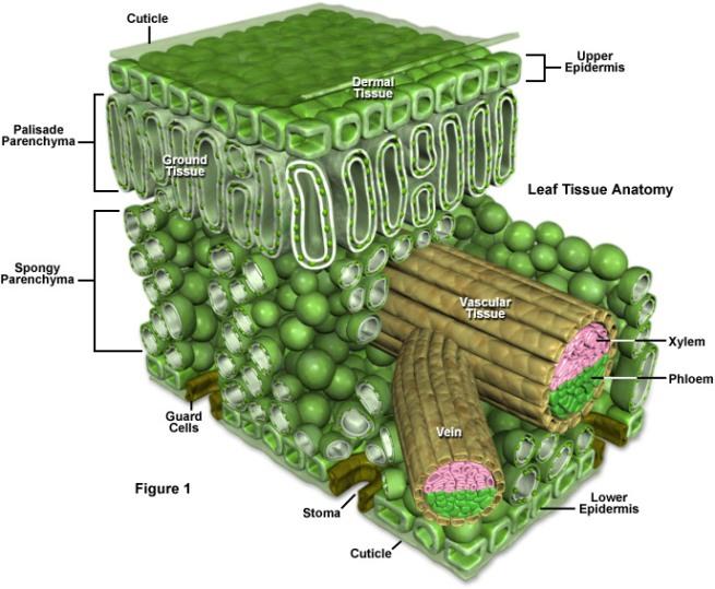 anatomy daun